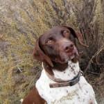 Hollybear - Bracco dell'Ariège Maschio (3 anni)