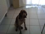 Effy - Bracco Francese Tipo Gascogne (2 anni)