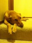 Daisy - Bracco ungherese a pelo corto (3 anni)