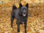 Percy - Buhund norvegese Maschio (4 anni)