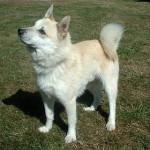 Alien - Buhund norvegese Maschio (12 anni)