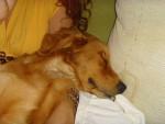 MANDDY - Golden Retriever (4 anni)