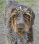 Billy Bob - Cane da ferma tedesco Maschio (3 anni)