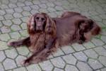 Foto Cane da ferma tedesco
