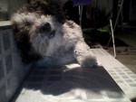 Luni - American Water Spaniel (1 anno)