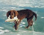 Fritz - American Water Spaniel Maschio