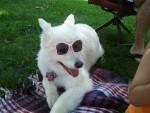 Molly - Cane d'acqua spagnolo (10 anni)