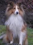 APRIL - Pastore delle Shetland Maschio (4 anni)