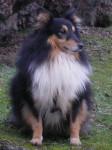 URBAN - Pastore delle Shetland Maschio (6 anni)
