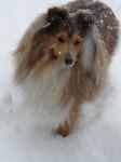 Boléro Gold dans la neige - Pastore delle Shetland