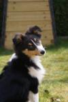 Flash, Berger Shetland 5 mois - Pastore delle Shetland (5 mesi)