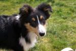 Flash, Berger Shetland de 5 mois - Pastore delle Shetland (5 mesi)