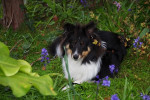 Megumi et les fleurs - Pastore delle Shetland Maschio (8 mesi)