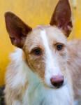 Llavero - Podengo portoghese Maschio (1 anno)