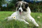 Echo photo de Montagne des Pyrénées de 2 ans - Cane di Montagna dei Pirenei (2 anni)