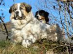 Echo 4 ans et Ginger 2 ans - Cane di Montagna dei Pirenei (4 anni)