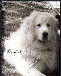Kodiak - Cane di Montagna dei Pirenei Maschio (3 anni)