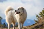 Foto Cane di Montagna dei Pirenei