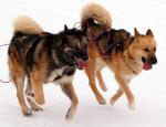 chien du Groenland - Raska et Vaigat - Groenlandese