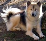 chien du groenland whaza - Groenlandese