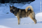 chien du Groenland - Raska - Groenlandese