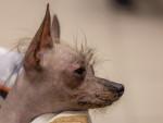 Foto Cane Nudo Peruviano