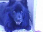 Vuori - Cane Lappone Maschio (9 anni)