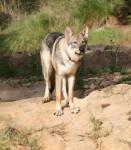 Loup de saarloos : Enyéto 11 mois - Cane lupo di Saarloos (11 mesi)