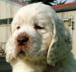 Rocko - Clumber Spaniel Maschio (2 mesi)