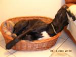 La petite Corbeille - Dogo delle Canarie