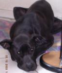 Plus de corbeille - Dogo delle Canarie