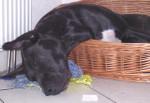 Désabusé - Dogo delle Canarie