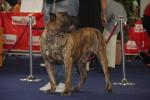 Foto Dogo delle Canarie