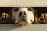 Foto Foxhound inglese
