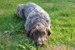 Jipsy - Griffone da ferma a pelo duro Korthals (1 anno)