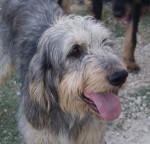 Digo - Griffon Nivernais Maschio (3 anni)
