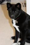 Bear - Jindo coreano Maschio (6 mesi)