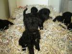 bébé kerry - Kerry blue terrier (1 mese)