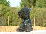 un kerry blue adulte - Kerry blue terrier Maschio