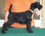 eragon blue de glenderry - Kerry blue terrier Maschio (2 mesi)