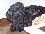 eragon blue de glenderry et criquet blue de glenderry - Kerry blue terrier Maschio