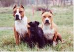 skipie et ses gardes du corps - Kerry blue terrier Maschio (2 mesi)