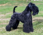Clairdouet -Kerry Blue Terrier - Kerry blue terrier