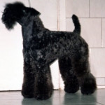 pretty - Kerry blue terrier (11 anni)