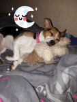 Chanel - Parson Russell Terrier (2 anni 3 mesi)