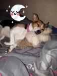 Chanel - Parson Russell Terrier (2 anni 3 mesi)