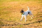 Foto Parson Russell Terrier