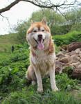 Laiko - Husky Maschio (4 anni)