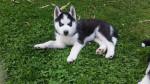 lary - Husky (9 mesi)