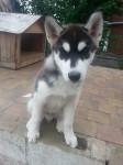 BUDDHA - Husky Maschio (3 mesi)